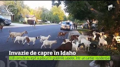 Invazie de capre în Idaho, Statele Unite