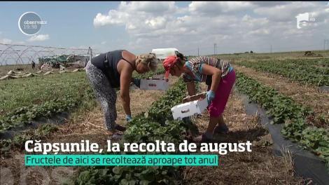 Căpșunile, la recolta de august