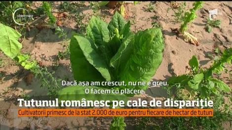 Tutunul românesc, deşi foarte apreciat, nu este o afacere profitabilă pentru cultivatori