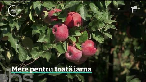Cea mai bogată recoltă de mere din ultimii ani