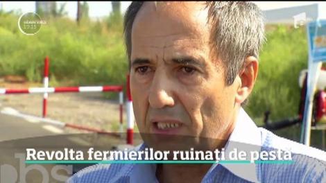 Revolta din Parlament a fermierilor ruinați de pesta porcină