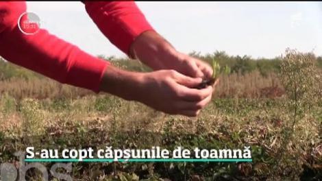 S-au copt căpșunile de toamnă. Un student face zeci de mii de euro din această afacere