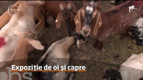 Epoziţie de oi şi capre din Segarcea, în judeţul Dolj!