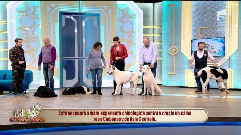 Hunii l-au iubit! Ciobănescul de Asia Centrală, cel mai frumos câine de pază!