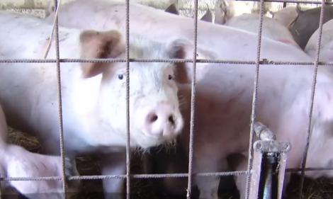 Autoritățile sunt în alertă! Porci din gospodării în care s-a găsit pestă porcină, scoși la vânzare pentru Crăciun