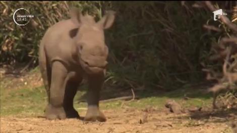 Un pui de rinocer născut într-o grădină zoologică din Israel face deja senzaţie, deşi are mai puţin de o lună de viaţă