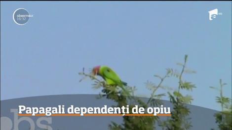 Papagalii dintr-o regiune din India au devenit dependenţi de opiu