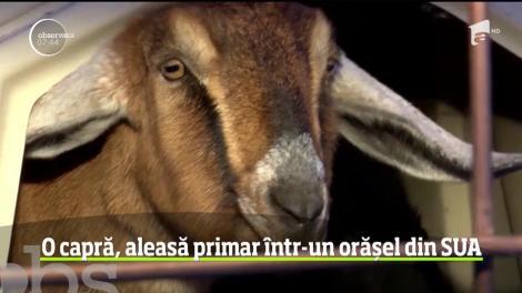 O capră, aleasă primar într-un orășel din Statele Unite ale Americii