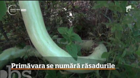 Sortimente noi de legume, în staţiunea legumicolă din Buzău. Printre ele: dovlecelul tomată african, tomata siriana, salata picantă sau spanacul urcător