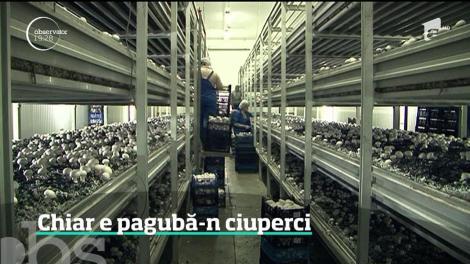 Ciupercile, tot mai greu de cultivat în ţara noastră. Motivele pentru care au dispărut crescătoriile de ciuperci din România