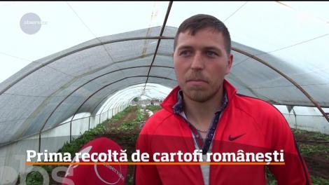 Prima recoltă de cartofi româneşti