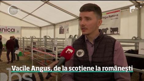 Tot mai mulţi fermieri din România mizează pe văcuţele Black Angus