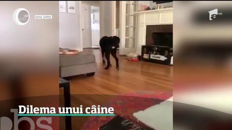 Dilema unui câine. Patrupedul este filmat de stăpână chiar în momentul în care reuşeşte să îşi prindă coada