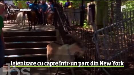 Autorităţile din New York au apelat la o soluţie inedită pentru a scăpa de buruieni. Nu mai puţin de. 24 de capre a fost aduse la păscut în parcul Riverside din Manhattan