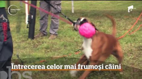 Concurs de frumuseţe dedicat câinilor din rasa Boxer, la Oradea