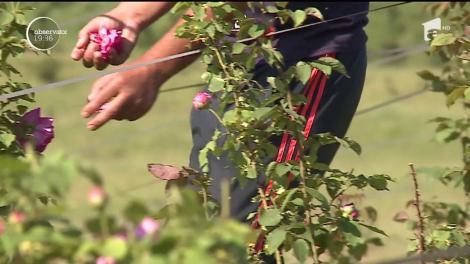 Afacere profitabilă cu parfum de trandafiri. Cu reţeta potrivită, din îndrăgita floare pot ieşi delicatese inedite