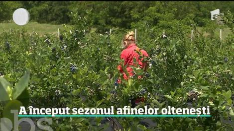 Afacerea cu afini pare sortită doar succesului. A prins rădăcini chiar şi în Oltenia, în solul deloc prietenos
