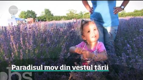 Raiul pasionaţilor de fotografii tip selfie este la Oradea.  Un câmp de lavandă care concurează cu faimoasele coline din Provence este în plină floare