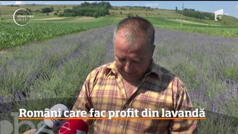 Profit consistent din culturile de lavandă