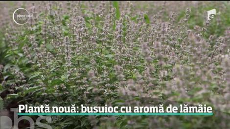 Cercetătorii români au inventat o plantă nouă, busuiocul cu aromă de lămâie. Care sunt beneficiile plantei