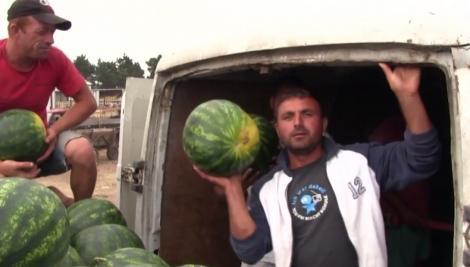 Vremea schimbătoare a dat peste cap şi planurile proprietarilor de bostănării din Dăbuleni