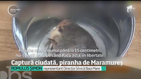 Au fost ore de panică în Baia Mare, după ce un pescar a găsit într-un lac din oraş peşti ce păreau a fi din specia Piranha