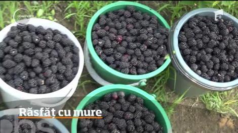 Producţie bogată de mure în judeţul Hunedoara. Ce conțin aceste fructe dulci-acrișoare
