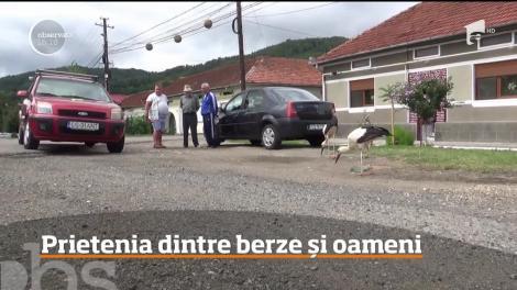 Mai mulţi pui de barză s-au împrietenit cu localnicii dintr-o localitate din judeţul Caraş-Severin