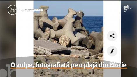 Pe o plajă din Eforie Sud, turiştii s-au bucurat de prezenţa unui vizitator neobişnuit, o vulpe