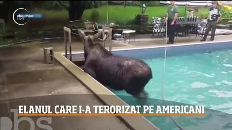 Elanul din piscină. Autorităţilor s-au străduit o noapte întreagă să-l scoată din apă