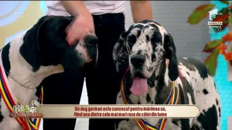 Ziua Internaţională a Animalelor - Cei mai frumoşi câini din rasa dog german!