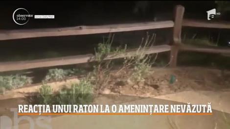 Reacția unui raton la o amenințare nevăzută