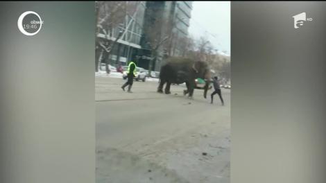 Doi elefanţi care au evadat de la un circ, plimbare în voie pe străzile unui oraş din Rusia. Cum a arătat aventura lor