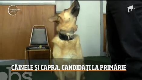 Un câine şi o capră, candidaţi pentru titlul de primar în SUA
