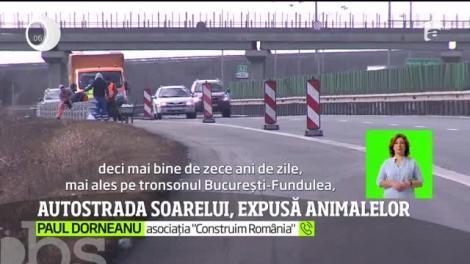 Autostrada Soarelui, expusă animalelor. Plasele de protecţie lipsesc, iar şoferii care circulă pe acolo îşi pun viaţa în pericol