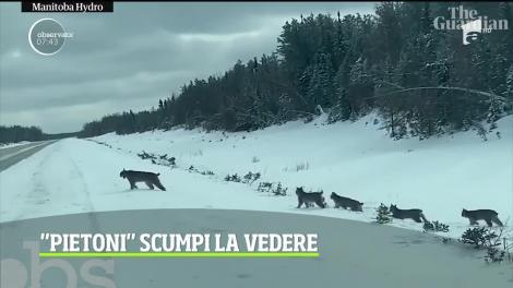Imagini rare cu o familie de lincşi într-o provincie canadiană