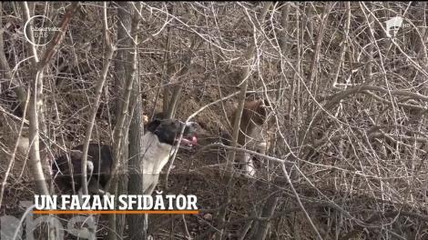 Spectacol în lumea necuvântătoarelor! Imagini inedite cu trei câini și un fazan, în localitatea hunedoreană Brănişca