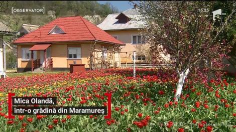 Mica Olandă, într-o grădină din județul Maramureș