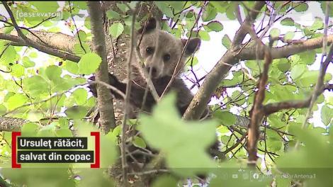 Intervenţie spectaculoasă într-o localitate din Mureş! Pompierii au fost chemaţi să salveze un pui de urs cocoţat într-un copac