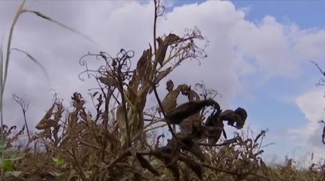 Seceta severă distruge culturile