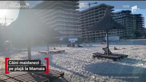 O haită de câini maidanezi a ocupat o plaja de lux din Mamaia