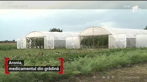 Aronia, un fruct nou apărut pe piaţa românească, calea spre profit pentru o familie din Mureş și sănătate pentru mulți români