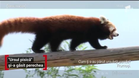 Peggy, un urs panda roşu, şi-a găsit perechea care a venit din Croaţia
