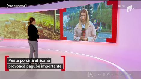 Pesta porcină africană continuă să se răspândească în România
