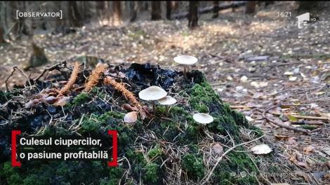 Culesul ciupercilor, o pasiune profitabilă