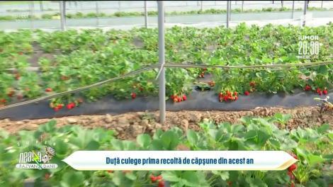 Totul despre soiurile de căpșuni care rodesc la începutul primăverii