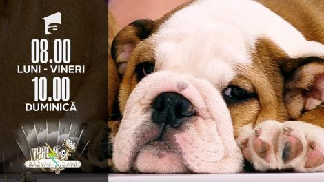 Super Neatza, 23 iulie 2021. Totul despre creșterea și îngrijirea unui câine rasa Bulldog Englez