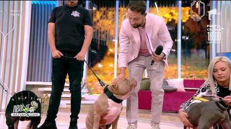 Super Neatza, 24 septembrie 2021. Totul despre creșterea și îngrijirea unui câine rasa American Bully
