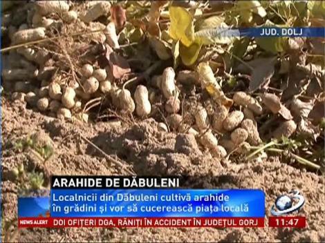 Localnicii din Dăbuleni s-au reorientat. Acum cultivă arahide